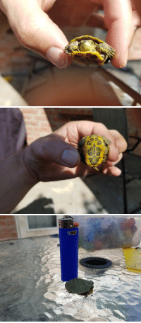 Reddit, The Middle, and Turtle: Bic Reddit, meet our new pet turtle. Named him Donatello. Found him in the middle of our yard, we're nowhere near water.