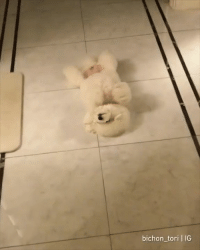 Belly up for belly rubs.  By bichon_tori | IG: bichon_tori | IG Belly up for belly rubs.  By bichon_tori | IG