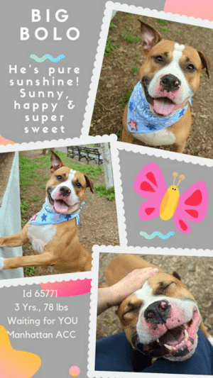 """Beautiful, Cats, and Children: BIG  BOLO  He's pure  sunshine!  Sunny  happy &  super  Sweet  Id 65771  3 Yrs., 78 lbs  Waiting for YOU  Manhattan ACC TO BE KILLED 6/27/19  He's a ray of pure sunshine – happy, huggy and oh so sweet! Meet the dog that's charming the socks off the volunteers at the Manhattan Center. BIG BOLO is big hearted and lots of fun!   As a volunteer writes: """"Be on the lookout for big love, big fun and a big personality wearing a beautiful tri-color coat, last seen in the vicinity of our Manhattan Care Center. He goes by the name Bolo, and firsthand reports say he's capable of smothering volunteers in snuggles, charming the socks off strangers and spreading smiles wherever he roams. Impressive physical strength is one of his key attributes, but with a harness and an experienced handler, he's responsive and well-behaved when walking on leash, and also appears to be very house trained. Bolo's nose is described as adorably 'boopable', and his enthusiasm for petting, toys, treats and socializing is high, though he does prefer to associate with people over dogs. A gorgeous hunk who's guilty of stealing many hearts since his arrival (another volunteer who walked him received compliments from passersby on how good-looking he is), Big Bolo is available for adoption to a family who loves life as much as he does. Keep your eyes peeled for this supernaturally handsome hunk next time you visit the Care Center, and you could be leaving with the catch of a lifetime!"""" If you can foster or adopt this hunk of burning love and sweetness, hurry and Message our page or email us at MustLoveDogsNYC@gmail.com for assistance.  BIG BOLO, ID# 65771, 3 yrs old, 78.6 lbs, Unaltered Male Manhattan ACC, Large Mixed Breed, Tan / White   I came into the shelter as a stray on 6/12/2019.  Behavior History: During intake Big Bird Bolo was welcoming and affectionate with counselor. He allowed all handling without issue and accepted treats from counselor. He allowed to be collared,"""