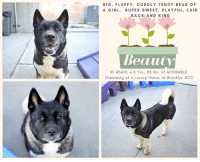 Andrew Bogut, Dogs, and Facebook: BIG, FLUFFY, CUDDLY TEDDY BEAR OF  A GIRL. SUPER SWEET, PLAYFUL, LAID  BACK AND KIND  Beauty  ID 43419, 6 Yrs., 83 lbs. of ADORABLE  Dreaming of a Loving Home, at Brooklyn ACC I was returned!   – 10/10/2018   Fluffy, puffy, and oh so sweet, Beauty's smile will light up a room.   She's a middle aged girl of 6 years, with a laid back and loving personality, affectionate and kind.  Originally surrendered to the shelter with her sibling Champ, for reasons as yet unknown, both these big, adorable dogs who resemble nothing so much as a pair of teddy bears, are in need of a new home.   If you can foster or adopt Beauty, please hurry and PRIVATE MESSAGE OUR PAGE or email us at MustLoveDogsNYC@gmail.com for assistance.  She's spayed and ready to roll!  VIDEO: https://www.youtube.com/watch?v=9d4ekZ3fgiU    BEAUTY,  ID# 43419, @ 6 Yrs., 83.2 Lbs. Brooklyn Acc, Large Mixed Breed, Black / White, Spayed Female Owner Surrender Reason:    Shelter Assessment:    Intake Behavior Rating:   ------------------------------------------------------------------- NOTES FIRST STAY / Intake Date 10/04/18   BEAUTY,  ID# 43419, @ Brooklyn ACC 6 Yrs., 83.2 Lbs. Large Mixed Breed,  Black / White, Spayed Female Intake Date 10/04/18   I came to the shelter with my friend Champ (also in need), ID 43418:  https://www.facebook.com/mldsavingnycdogs/photos/a.112459638940315/845252928994312/?type=3&theater  *** TO FOSTER OR ADOPT ***  If you would like to adopt a NYC ACC dog, and can get to the shelter in person to complete the adoption process, you can contact the shelter directly. We have provided the Brooklyn, Staten Island and Manhattan information below. Adoption hours at these facilities is Noon – 8:00 p.m. (6:30 on weekends)  If you CANNOT get to the shelter in person and you want to FOSTER OR ADOPT a NYC ACC Dog, you can PRIVATE MESSAGE our Must Love Dogs page for assistance. PLEASE NOTE: You MUST live in NY, NJ, PA, CT, RI, DE, MD, MA, NH, VT, ME or Northern VA. 