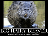 Memes  F0 9f A4 96 And Beaver Big Hairy Beaver Wouldnt You Like