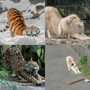 big ol kitties: big ol kitties