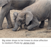 Elephant, Wholesome, and Her: Big sister drops to her knees to show affection  to newborn Photo by James Irwin Wholesome elephant pics by James Irwin via /r/wholesomememes https://ift.tt/2PZfyac