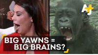 """Animals, Anime, and Brains: BIG YAWNS  BIG BRAINS? This """"yawnologist"""" demystifies yawns, one cute animal video at a time."""