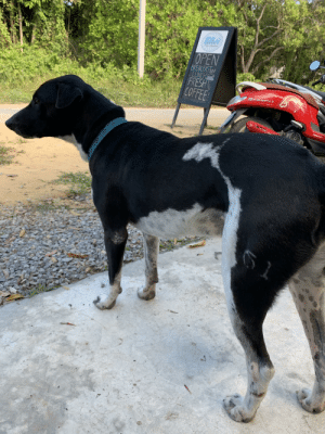 """This dog with an almost perfect """"61"""" in its fur (Koh Phayam, Thailand): Bilho's  OPEN  BREAKFAST  LUNCH  FRESH  COFFEE  CLUB  PALA This dog with an almost perfect """"61"""" in its fur (Koh Phayam, Thailand)"""