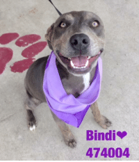 Dogs, Food, and Memes: Bindi  474004 Email Placement@sanantoniopetsalive.org if you are interested in Adopting, Fostering, or Rescuing!  Our shelter is open from 11AM-7PM Mon -Fri, 11AM-5PM Sat and Sun.  Urgent Pets are at Animal Care Services/151 Campus. SAPA! is Only in Bldg 1 GO TO SAPA BLDG 1 & bring the Pet's ID! Address: 4710 Hwy. 151 San Antonio, Texas 78227 (Next Door to the San Antonio Food Bank on 151 Access Road)  **All Safe Dogs can be found in our Safe Album!** ---------------------------------------------------------------------------------------------------------- **SHORT TERM FOSTERS ARE NEEDED TO SAVE LIVES- email placement@sanantoniopetsalive.org if you are interested in being a temporary foster!!**
