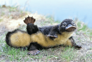 bintelgranada: cuteness–overload:   Here's a little platypus for all of u. Source: http://bit.ly/2jMWQUe   hi! @just-odradek  : bintelgranada: cuteness–overload:   Here's a little platypus for all of u. Source: http://bit.ly/2jMWQUe   hi! @just-odradek
