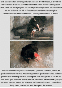 Climbing, Memes, and Illinois: Binti Jua is a western lowland gorilla female in the Brookfield Zoo, in Brookfield  Illinois. Binti is most well known for an incident which occurred on August 16  1996, when she was eight years old.A three-year old boy climbed the wall around  her zoo enclosure and fell 18 feet onto concrete below, rendering him  unconscious with a broken hand and a vicious gashon the side of his face  Binti walked to the boy's side while helpless spectators screamed, certain the  gorilla would harm the child. Another larger female gorilla approached, and Binti  growled. Binti picked up the child, cradling himwith her right arm as she did her  own infant, gave him a few pats on the back, and carried him 18 meters (59 ft to  an access entrance, so that zoo personnel could retrieve him. Her 17-month-old  baby, Koola, clutched her back throughout the incident. Worth a read....