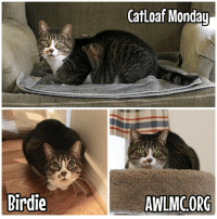It's Monday, and Birdie makes a wonderful cat loaf. Happy #CatloafMonday!: Birdie  CatLoaf Monday  AWLMCORG It's Monday, and Birdie makes a wonderful cat loaf. Happy #CatloafMonday!