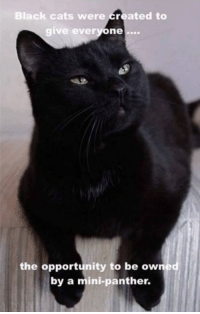 Cats, Memes, and Black: Black cats were Created to  give every  one  the opportunity to be owned  by a mini-panther.