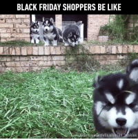 Black Friday, Dank, and Husky: BLACK FRIDAY SHOPPERS BE LIKE  EUG@myyinlerfells siberian huskies Shoppers trample others for good deals, brutal! (By MyWinterfell's Siberian Huskies)