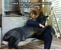 Beautiful, Definitely, and Tumblr: black wolf hybridI would definitely  WOU  ride this into battle.. srsfunny:  Beautiful Black Wolf Hybrid