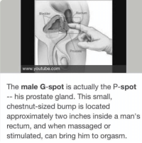 Memes, youtube.com, and Orgasm: Bladder  www.youtube.com  The male G-spot is actually the P-spot  -- his prostate gland. This small,  chestnut-sized bump is located  approximately two inches inside a man's  rectum, and when massaged or  stimulated, can bring him to orgasm. If you didn't know, now you know 😂😂 Tag someone that needs to know 👀 . KraksTV
