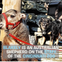 Dogs, Memes, and Best: BLAKELY  IS AN AUSTRALIAN  SHEPHERD ON THE  OF THE CINCINNA DOGS ARE JUST THE BEST. We ❤ you Blakely Via @cincinnatizoo
