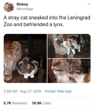 Memes, Sorry, and Twitter: Blakey  @luvsiege  A stray cat sneaked into the Leningrad  Zoo and befriended a lynx  2:28 AM Aug 27, 2019 Twitter Web App  16.9K Likes  5.7K Retweets Found on wholesome memes, sorry if it's a repost. i'll delete it if it is.