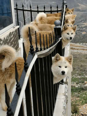 blessedimagesblog:  The 5 Akitas my aunt own: blessedimagesblog:  The 5 Akitas my aunt own