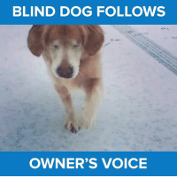 This is adorable <3 via - JukinMedia: BLIND DOG FOLLOWS  OWNER'S VOICE This is adorable <3 via - JukinMedia