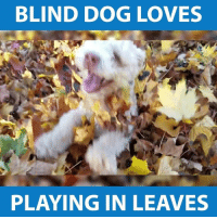 Looking for the weekend like... via - JukinMedia: BLIND DOG LOVES  PLAYING IN LEAVES Looking for the weekend like... via - JukinMedia