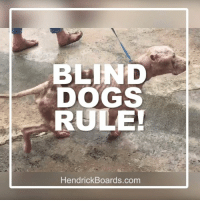 BLIND DOGS RULE! SHARE IF YOU AGREE!   I have an update on our senior blind pit named Hicks! Please keep reading here : http://dogco.org/save-hicks-nybc: BLIND  DOGS  RULE!  Hendrick Boards.com BLIND DOGS RULE! SHARE IF YOU AGREE!   I have an update on our senior blind pit named Hicks! Please keep reading here : http://dogco.org/save-hicks-nybc