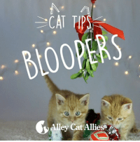 Memes, Kittens, and Bloopers: BLOOPERS  ey Cat Alliesar. Happy Paw-lidays! Our gift to you is this silly kitten blooper reel. If you loved our Cat Tips Holiday video, just wait until you see the outtakes. We learned how hard it is to get diva kitten actors to follow their cues. It's a good thing they're cute!    www.alleycat.org/HolidayTips