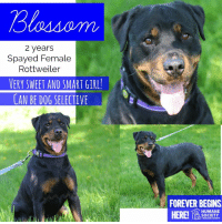 Dogs, Memes, and Puppies: Blossom  2 years  Spayed Female  Rottweiler  VERY SWEET AND SMART GIRL!  CAN BE DOG SELECTIVE  FOREVER BEGINS  HUMANE  SOCIETY  MIDLAND COUNTY All dogs/puppies in our shelter can be viewed here.  Any dog not being held as a stray is available for immediate, same-day adoption! Adoption applications are reviewed on site. Please share our dogs and help get them out of the shelter as quickly as possible!  **PLEASE NOTE**  Placing an application on a dog featured in this album does NOT hold the dog for you.  All available dogs are available to be met and adopted same day if already altered.  If not altered, the dog can be met and paid for in order to hold the dog for you.  Thank you for your understanding!