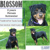 Dogs, Memes, and Puppies: BLOSSOM  3 years  Female  Rottweiler  Transferred from Tuscola County  Good natured girl, should be good w/dogs  HUMANE  SOCIETY  MIDLAND COUNTY All dogs/puppies in our shelter can be viewed here.  Any dog not being held as a stray is available for immediate, same-day adoption! Adoption applications are reviewed on site. Please share our dogs and help get them out of the shelter as quickly as possible!  **PLEASE NOTE**  Placing an application on a dog featured in this album does NOT hold the dog for you.  All available dogs are available to be met and adopted same day if already altered.  If not altered, the dog can be met and paid for in order to hold the dog for you.  Thank you for your understanding!