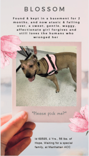 "Dogs, Family, and Friends: BLOSSOM  Found & kept in a basement for 2  months, and now ataxic & falling  over a sweet. gentle, waggy.  affection ate girl forgives and  stil loves the humans who  wronged her  ""Please pick me?""  Id 68585, 4 Yrs., 56 lbs. of  Hope. Waiting for a special  family, at Manhattan ACC INTAKE DATE – 7/9/2019   *POSSIBLE DISTEMPER* Poor Blossom is not doing too well and needs help ASAP! She was kept in a basement for 2 months, and now has had severe ataxia since then.  She sways constantly, and falls over when she shakes. :-(      A $500 stipend will be offered to the New Hope partner that pulls Blossom #68585. Please note that in order to qualify for the stipend, the animal cannot go to a boarding facility.  Blossom is so sweet, loving, affectionate and kind that it breaks our heart that she was found and then kept in someone's basement for 2 months, and now she has severe ataxia, and falls over when she shakes.  How could anyone treat her so cruelly, and not get her the vetting she so obviously needs.  She has won everyone's hearts with her brave, hopeful nature, her optimism, and her stoicism.  She doesn't let her condition get her down and tries so hard to be ""normal"" around her friends, the volunteers, who love her.   She loves to give kisses, and she loves to get hugs and kisses back.  If you can give her the TLC and vetting she needs, and you would love to have an affectionate, loyal friend for all her life to come, hurry and Message our page or email us at MustLoveDogsNYC@gmail.com for assistance fostering or adopting her.  If you foster, the rescue that pulls will pay all her medical.  You add support and love.  What do you have to lose, except your heart?  BLOSSOM, ID# 68585, 4 yrs old, 56 lbs, Unaltered Female Manhattan ACC, Large Mixed Breed, Tan   Owner Surrender Reason: Shelter Assessment Rating: Medical Behavior Rating:  MEDICAL EXAM NOTES   9-Jul-2019  DVM Intake Exam.  Estimated age: Estimated 2-5 years based on dentition and overall appearance.  Microchip noted on Intake? Scanned negative.  History : Found 2 months ago and kept in a basement since then - pt has had severe ataxia since then. No coughing, sneezing, vomiting, nasal discharge, diarrhea.  Subjective: Alert, walks well on leash. Ataxic x4.  Observed Behavior - Very friendly - wagging tail, relaxed body, wants to give kisses, allows all handling.  Evidence of Cruelty seen – None.  Evidence of Trauma seen – None.  Objective:  T = 102.4, P = unremarkable, R = eupnic, BCS 7/9.  EENT: Eyes clear, no ocular discharge. Ears clean, scant serous nasal discharge at times.  Oral Exam: Mild tartar.  PLN: No enlargements noted.  H/L: NSR, NMA, CRT < 2, Lungs clear, eupnic, no coughing or sneezing.  ABD: Soft, non painful, no masses palpated, not distended.  U/G: Mature vulva and nipples, no discharge or masses.  MSI: Ambulatory x 4 but severely ataxic. Patchy alopecia and erythema on ventrum, lateral thighs and shoulders, perineal region. Some pustules on flanks and hindquarters, and on ventrum. Entire head has thin fur, severe erythema. Skin free of parasites, no masses noted.  CNS: Mentation appropriate. Severe ataxia x4 legs - appears cerebellar. Pt sways constantly, and falls over when she shakes.  Rectal: Erythematous perineal region, anus appears normal. Did not perform rectal exam.   Assessment:  1. Cerebellar dysfunction - R/O distemper vs. trauma vs. congenital vs. toxo vs. crypto vs. tick-borne disease vs. neoplasia  2. Dermatitis - R/O distemper vs. atopy vs. fleas vs. other  3. Overweight  Prognosis: Fair  Plan:  1. CBC/chemistry, send out resp PCR and distemper testing  2. Cefpodoxime 250 mg PO SID x10 days  3. Consider medicated baths and other therapies for dermatitis  4. Recommend weight loss of 5-10 lbs  SURGERY:   Temporary waiver due to illness  *** TO FOSTER OR ADOPT ***   If you would like to adopt a NYC ACC dog, and can get to the shelter in person to complete the adoption process, you can contact the shelter directly. We have provided the Brooklyn, Staten Island and Manhattan information below. Adoption hours at these facilities is Noon – 8:00 p.m. (6:30 on weekends)  If you CANNOT get to the shelter in person and you want to FOSTER OR ADOPT a NYC ACC Dog, you can PRIVATE MESSAGE our Must Love Dogs page for assistance. PLEASE NOTE: You MUST live in NY, NJ, PA, CT, RI, DE, MD, MA, NH, VT, ME or Northern VA. You will need to fill out applications with a New Hope Rescue Partner to foster or adopt a NYC ACC dog. Transport is available if you live within the prescribed range of states.  Shelter contact information: Phone number (212) 788-4000 Email adopt@nycacc.org  Shelter Addresses: Brooklyn Shelter: 2336 Linden Boulevard Brooklyn, NY 11208 Manhattan Shelter: 326 East 110 St. New York, NY 10029 Staten Island Shelter: 3139 Veterans Road West Staten Island, NY 10309  *** NEW NYC ACC RATING SYSTEM ***  Level 1 Dogs with Level 1 determinations are suitable for the majority of homes. These dogs are not displaying concerning behaviors in shelter, and the owner surrender profile (where available) is positive.   Level 2  Dogs with Level 2 determinations will be suitable for adopters with some previous dog experience. They will have displayed behavior in the shelter (or have owner reported behavior) that requires some training, or is simply not suitable for an adopter with minimal experience.   Level 3 Dogs with Level 3 determinations will need to go to homes with experienced adopters, and the ACC strongly suggest that the adopter have prior experience with the challenges described and/or an understanding of the challenge and how to manage it safely in a home environment. In many cases, a trainer will be needed to manage and work on the behaviors safely in a home environment."