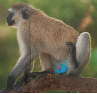 Blue balls syndrome illustrated by a monkey.: Blue balls syndrome illustrated by a monkey.