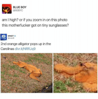 Dank Memes, Photos, and Photo: BLUE BOY  92BYC  am l high? or if you Zoom in on this photo  this motherfucker got on tiny sunglasses?  WNCT  2nd orange alligator pops up inthe  Carolinas  dlvr.it/NRRJq9 @fuckitimarobot I'm high too
