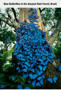 Amazon, Club, and Tumblr: Blue Butterflies in the Amazon Rain Forest, Brazil  /2 laughoutloud-club:  Blue Butterflies In The Amazon