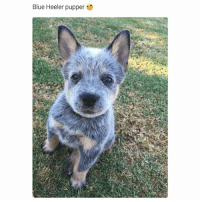 Dogs, Funny, and Memes: Blue Heeler pupper @dogsbeingbasic has the best dogs memes