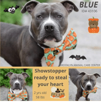 Being Alone, Apparently, and Beautiful: BLUE  ID# 43106  or  ROOKLYN ANIMAL CARE CENTER  Showstopper  ready to steal  your heart  2 yrs old  58 lbs TO BE KILLED 10/17/18  Beautiful Blue is a very waggy, sweet and cute young man in excellent condition. He is friendly around strangers, seems to be housebroken and passes other dogs just fine. Please share handsome Blue for a new home!  A volunteer writes: Blue is sweet and friendly with just a touch of shyness. He was a bit submissive when I took him out of his cage - wagging his tail while crouching down a little - but he happily came out and we went for a walk. Outside, Blue allowed me to pet him and wagged his tail quite often, though he remained just a little bashful. But oh boy...once we got back to the shelter, I saw the true Blue! When he spotted one of his favorite staff members, his tail went way up and started wagging like a little helicopter; his eyes widened; his ears perked up; a big doggie smile came across his face; and he made a beeline for the employee. Blue then jumped up to greet his friend, who in turn, gave Blue lots of cheek rubs. Blue stood there with his eyes closed and his tail wagging, just taking in all this love and attention...it was pure doggie bliss! Blue then thanked his friend with lots of face kisses. Watching this interaction, I assumed the staff member had spent a lot of time with Blue. But no....he had walked him only a few times! So even though Blue needs time to get to know new people, he seems to warm up very quickly. Blue's previous owner described him as friendly, affectionate, and mellow; and stated that he loves to run and play fetch with balls. If you'd like to meet this adorable little sweetie-pie, come on down to the Brooklyn ACC shelter where he's awaiting his forever home.  VIDEO: https://www.youtube.com/watch?v=LltDsS7bQDU  Blue ID# 43106 Brooklyn Animal Care Center 2 yrs old, 58 lbs Gray / White Male Medium Mixed Breed  Intake Date: 10-01-2018 I came into the shelter a