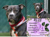 """Being Alone, Animals, and Beautiful: BLUE  ID# 44686  Stunningly  Beautiful  scared girl is  running out of 12 mo o  time...puppy girl!  43.8 lbs  Manhattan Animal Care Center TO BE KILLED 10/22/18  Gorgeous Blue is basically a puppy, just 1 year old, and a shy and sweet girl. She was surrendered with a housemate and is hoping to find a good hearted person, that brings her smile back and takes her home forever. Please share this lovable girl!  Blue´s Caretaker writes:   """"It takes a long time to become young."""" Blue, 1 year-old, member of the Shy Gals club, focusing on the present and feeling younger every day. At Manhattan ACC.  VIDEO: Blue and Sirius in Playgroup https://youtu.be/jocGtaB5yOs  Blue ID# 44686 Manhattan Animal Care Center 12 mos old, 43.8 lbs Gray / White Intact Female Large Mixed Breed Cross Owner Surrender Reason: I came into the shelter as a owner surrender on 16-Oct-2018, with the surrender reason stated as animal behaviour - not good with resident animals. Intake Date: 10-16-2018  CAME IN WITH Sapphire ID# 44687  Behavior History Behavior Assessment Blue sat quietly close to owner and avoided eye contact and did not acknowledge counselor when counselor called her name ,Blue was not interested in treats  Date of Intake: 10/16/2018  Basic Information:: Blue is a female unaltered large mixed breed dog that was brought into MACC as an owner surrender due to her not getting along with resident dogs Previous owner has had Blue since birth as he has her mother and father in the home  Blue has no injuries or health problems and was last seen by a vet in February of 2017  Previously lived with:: 1 adult male,1 adult female and 12 other dogs  How is this dog around strangers?: Around strangers Blue is said to be respectful. Previous owner stated Blue will not solicit attention but will tolerate petting. Previous owner stated Blue is shy  How is this dog around children?: Blue has previously spent time with children ages 3-10 and is said to be relaxed and pl"""