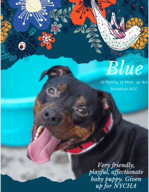 "Bones, Cats, and Children: Blue  Id 65074, 12 Mos., 41 lbs.  Brooklyn ACC  Very friendly,  playful, affectionate  baby puppy. Given  up for NYCHA TO BE KILLED – 6/25/2019  The NYC Housing Ban (otherwise known as NYCHA).  The law that has ripped apart more people from their beloved pets than any other, and is responsible for the deaths of thousands of sweet, proven family pets every year.  It's disgraceful.  BLUE is just another victim of this cruel law.  He's just a baby, barely 12 months old, a happy, hopeful, optimistic puppy who loved his parent and the 2 children who shared his life.  Affectionate, super friendly with everyone he met, and just trying to live out his life with the family he loved when all of it got snatched away.  He misses following around the kids, he misses his squeaky toys and chew toys, he misses his happy routine.  Now, stuck in a kennel, anxious and confused, he waits for the family he loved to come back for him, certain it is a cruel joke.  But we know better, and now his life is on the line. This puppy has a sterling resume – house and crate trained, well behaved and mannered.  Watch his adorable video and see what a wigglebutt he is, and how eagere he is to please..  Blue just needs out of the shelter and into a home again.  So if you are an experienced foster or adopter in an adult only home (kids over 13 ok), hurry and message our page or email us at MustLoveDogsNYC@gmail.com for assistance saving his life.  Blue is ""blue"" and we just can't have that.  Save his life please.  MY MOVIES! Tricks for treats!  What a good boy! https://www.youtube.com/watch?v=8WU3sibq37c  Blue is a natural Houdini!  😊 https://www.youtube.com/watch?v=lBW1dWR16sw    BLUE, ID# 65074, 12 Mos. Old, 41.3 lbs, Unaltered Male Brooklyn ACC, Medium Mixed Breed, Tri-Color Owner Surrender Reason:  Landlord won't allow (NYCHA) Shelter Assessment Rating:   New Hope Rescue Only Behavior Condition:   3. yellow  AT RISK NOTE:   Although he displays social behavior, Blue exhibits a very high level of anxiety during his interactions in the care center. Due to this observation, as well as his recent bite history and lack of basic manners, we feel he would be best set up to succeed if placed with an experienced rescue partner who can allow him to acclimate and decompress at his own pace. Blue was diagnosed with CIRDC and would have to be kept away from other healthy dogs for the next 14 days.    INTAKE NOTE – DATE OF INTAKE, 6/6/2019:  Upon intake Blue was very hyper and friendly. He allowed all handling by counselor. Counselor was able to collar, pet and take a photo.  OWNER SURRENDER NOTES – BASIC INFORMATION:  Blue is approximately 1 years old. He is an unaltered male. He was surrendered to BACC due to the NYCHA Pet Policy. He lived with 1 adult and 2 children.    Owner stated Blue is friendly and outgoing around strangers.  Owner stated Blue lived with their two children ages 12 and 18 years old. He is relaxed and playful around them.   Has not been around other dogs so it is unknown of the behavior.  Has not been around cats so it is unknown of the behavior.  Blue does not resource guard his food or toys. He is not bothered if you try to take it away.  He has no bite history.  He is housetrained and has a very high energy level.  Blue has never had a medical issue.   For a New Family to Know: Owner stated Blue is a friendly, playful, affectionate and excitable dog. He has a very high activity level. When your home he follows you around. He likes to play with balls, stuffed toys, squeaky toys and chew bones. He also like to play fetch and tug. He is mostly indoors. He eats dry food about twice a day. He does not mind being groomed. he is housed trained . He is also crate trained and can stay in the crate about 8 hours a day. He know ques such as sit, come and down. He brisk walks on the leash. He can not walk off leash or he will run away.   SHELTER ASSESSMENT SUMMARIES:    Leash Walking  Strength and pulling: Moderate pulling  Reactivity to humans: None  Reactivity to dogs: None  Leash walking comments:   Sociability  Loose in room (15-20 seconds): Soft and loose, panting, ears back, tail high and wagging, approaches handler, jumps up softly onto handler's lap soliciting attention, explores somewhat, leans into and accepts all contact Call over: Approaches readily, exuberant, jumps up onto handler's lap Sociability comments:   Handling  Soft handling: Soft and wiggly, tail wagging, ears back, tense head, panting, soft head whips, mouths handler's hand (no pressure), leans into and accepts all contact  Exuberant handling: Soft and wiggly, tail wagging, ears back, tense head, panting, soft head whips, mouths handler's hand (no pressure), leans into and accepts all contact  Handling comments:   Arousal  Jog: Follows handler, soft and loose  Arousal comments: Distracted by objects in the room and bags on the floor   Knock  Knock Comments: Explores room when assistant exits; No response to knock; Approaches assistant, soft and loose   Toy  Toy comments: Grips and relinquishes, distracted by assess-a-hand   PLAYGROUP NOTES – DOG TO DOG SUMMARIES: According to Blue's previous owner, Blue did not socialize with other dogs while in their care.   6/8: When off leash at the Care Centers, Blue greets the novel female dog then explores the yard. After several minutes he re-approaches the greeter with chatter and whimpers. He exchanges rear sniffs then walks away.   6/21: Blue returned to group after his DOH hold was off. He greeted an novel female dog with a wiggle body. He immediately mounts her when he is let into the pen. Blue listens to interruptions but returns to mount the helper dog after a brief break.  Summary (1):: Blue understands the cues for ""sit,"" ""come,"" and ""down.""  INTAKE BEHAVIOR - Date of intake:: 6/6/2019 Summary:: Very hyper, friendly, accepted contact; Allowed all handling  MEDICAL BEHAVIOR - Date of initial:: 6/6/2019 Summary:: Initially very sweet, affectionate; Allowed most handling; Growled and snapped  ENERGY LEVEL:: Blue has been observed to exhibit a high level of energy during his interactions in the care center. We cannot be certain of his behavior in a home environment, but we recommend that he be provided daily mental and physical stimulation as an outlet for his energy.  Other Notes:: **Bite History as of 6/8/19** Blue was observed to begin barking in his kennel when a staff member walked by and offered him some treats. Blue was then observed to bite the staff member's hand, shake and release, resulting in broken skin and drawing blood  IN SHELTER OBSERVATIONS::   6/6/19: During a walk with Blue, he remained highly anxious (pacing, panting, whining). He continued to make several attempts to flee from handler, when he was unable to he made attempts to mount handler though was readily refocused with the use of treats. He displayed no social behavior and remained aloof and anxious throughout his walk. Blue was returned to his kennel without issue.   6/8/19: When the handler approached Blue's kennel, he was observed to be at the front and displayed a soft and loose body. He allowed the handler to place the rope around him with ease and walk him outside into the pens for a relief walk and interaction in the outside pens. During the interaction, Blue was observed to explore readily, staying near the handler and accepted contact. After about 5-10 minutes, Blue began to exhibit anxious behavior by pacing, panting and whining. Blue was then observed to attempt to mount the handler before slightly thrashing on the rope. He quickly settled on his own and the handler then started to walk Blue out of the pens to return him to his kennel, when Blue thrashed once more, jumped up and lowered his body to the ground. After allowing Blue to once again recover, he was observed to shake off and settle, display a soft and wiggly body and walked beside the handler back to his kennel.   6/10/19: Blue was laying down when the handler approached his kennel. The handler was able to place the rope around him easily and he walked out of his kennel without issue and outside for his relief walk. Blue displayed a relaxed body and was observed to readily explore the pens, but checked in with the handler to solicit attention and readily receiving treats. He was also observed to jump up onto the handler when aroused or soliciting attention. The handler had no issues returning him to his kennel after this interaction.   6/16/19: Blue was the front of the kennel when the handler approached and was easily leashed and brought out to play yard. He maintained a loose and wiggly body as a drag leash was attached. He bounced around the pens, but did not engage in play with toys that were offered to him. Blue did respond to the ""sit"" cue and clicker training was attempted. When the clicker was used, Blue would bounce around staff members with a wiggly body and would not receive the high value treats. When the session was over, Blue returned to his kennel without issue.   6/18/19: When the handler approached his kennel, Blue was observed to be laying down, but readily stood up and allowed the handler to leash him and walk him outside. During his interaction, Blue exhibited minimal interest when offered a tennis ball. He continued to readily accept treats softly. When the handler no longer offered treats, Blue was observed to attempt to mount the handler. He was returned to his kennel shortly after without issue.  BEHAVIOR DETERMINATION:: New Hope Only Behavior Asilomar: TM - Treatable-Manageable  Recommendations:: No children (under 13),Place with a New Hope partner  Recommendations comments:: No children (under 13): Due to Blue's overall level of anxiety, lack of basic manners and his bite history, we feel he would be best set up to succeed in an adult-only home at this time. Place with a New Hope partner: Although he displays social behavior, Blue exhibits a very high level of anxiety during his interactions in the care center. Due to this observation, as well as his recent bite history and lack of basic manners, we feel he would be best set up to succeed if placed with an experienced rescue partner who can allow him to acclimate and decompress at his own pace. Force-free, reward based training only is advised when introducing or exposing Blue to new and unfamiliar situations, as well as utilizing guidance from a qualified, professional trainer/behaviorist.   Potential challenges: : Basic manners/poor impulse control,Fearful/potential for defensive aggression,Anxiety,Bite history (human)  Potential challenges comments:: Basic manners: Blue exhibits a lack of basic manners during his interactions in the care center. Although he displays social behavior, Blue has been observed to jump up onto handler's exuberantly when soliciting attention or when aroused and engaged in play. Please refer to the handout for Basic manners/poor impulse control. Bite history (human): Blue has had a recent bite incident during his interactions in the care center where he was observed to bite the hand of a staff member when being offered treats in his kennel. This bite resulted in broken skin and drawing blood (SEE OTHER NOTES). Please refer to the handout for Bite history (human). Fearful/potential for defensive aggression: Although Blue has shown significant improvement and displays social behavior with staff, he has been observed to escalate to growling and snapping toward handlers when fearful or uncomfortable. This behavior was observed during his initial medical exam. Please refer to the handout for Fearful/potential for defensive aggression. Anxiety: Blue displays anxious behavior during his interactions in the care center, observed on multiple occasions. Although Blue solicits attention and accepts all contact, when interacting with staff, he has been observed to pace, pant, whine and escalates to mounting handlers. Please refer to the handout for Generalized Anxiety.  6/6/2019 DVM Intake Exam Estimated age: Aprox 1 yr Microchip noted on Intake? No Microchip Number (If Applicable): History : Stray Subjective: BARH. No csvd Observed Behavior - Very sweet and affectionate at first, allowed PE without any issues. Did growl and tried to snap while performing intake tasks Evidence of Cruelty seen - no Evidence of Trauma seen - no Objective P = wnl R = wnl BCS 5/9 EENT: No ocular/nasal discharge. Ears clear of debris/cerumen. Oral Exam: Adult dentition,no dental plaque/tartar/gingival inflammation PLN: No enlargements noted, small and symmetrical H/L: NSR, NMA, CRT < 2, Lungs clear, eupnic ABD: Non painful, no masses palpated U/G: MI, only 1 palpable testicle, no discharge MSI: Ambulatory x 4, no ectoparasites noted, healthy hair coat CNS: Mentation appropriate - no signs of neurologic abnormalities Rectal: normal externally Assessment Cryptorchid Prognosis: Good Plan: Continue to monitor while at BACC Neuter SURGERY: Ok for surgery   6/23/2019 H: Noted to not be acting like his normal self recently, low energy level c/s. CIRDC signs seen on rounds S: BAR, coughed 2-3times during cageside exam Eyes: Unremarkable OU Ears: Unremarkable AU. Nasal Cavity: Mild serous nasal discharge Lungs: Eupneic Musculoskeletal: Ambulatory x 4 with no appreciable lameness. BCS = 5/9 Neuro: Appropriate mentation. Rectal: Not performed. Externally normal. Assessment 1)CIRDC Plan: Move to iso Start enrofloxacin 10 mg/kg PO SID x 10 days Start doxycycline 10mg/kg PO SID x 7 days   *** TO FOSTER OR ADOPT ***  BLUE IS  RESCUE ONLY. You must fill out applications with New Hope Rescues to foster or adopt him. He cannot be reserved online at the ACC ARL, nor can he be direct adopted at the shelter. PLEASE HURRY AND MESSAGE OUR PAGE FOR ASSISTANCE!   HOW TO RESERVE A ""TO BE KILLED"" DOG ONLINE (only for those who can get to the shelter IN PERSON to complete the adoption process, and only for the dogs on the list NOT marked New Hope Rescue Only). Follow our Step by Step directions below!   *PLEASE NOTE – YOU MUST USE A PC OR TABLET – PHONE RESERVES WILL NOT WORK! **   STEP 1: CLICK ON THIS RESERVE LINK: https://newhope.shelterbuddy.com/Animal/List  Step 2: Go to the red menu button on the top right corner, click register and fill in your info.   Step 3: Go to your email and verify account  \ Step 4: Go back to the website, click the menu button and view available dogs   Step 5: Scroll to the animal you are interested and click reserve   STEP 6 ( MOST IMPORTANT STEP ): GO TO THE MENU AGAIN AND VIEW YOUR CART. THE ANIMAL SHOULD NOW BE IN YOUR CART!  Step 7: Fill in your credit card info and complete transaction   HOW TO FOSTER OR ADOPT IF YOU *CANNOT* GET TO THE SHELTER IN PERSON, OR IF THE DOG IS NEW HOPE RESCUE ONLY!   You must live within 3 – 4 hours of NY, NJ, PA, CT, RI, DE, MD, MA, NH, VT, ME or Norther VA.   Please PM our page for assistance. You will need to fill out applications with a New Hope Rescue Partner to foster or adopt a dog on the To Be Killed list, including those labelled Rescue Only. Hurry please, time is short, and the Rescues need time to process the applications.  Shelter contact information Phone number (212) 788-4000  Email adoption@nycacc.org  Shelter Addresses: Brooklyn Shelter: 2336 Linden Boulevard Brooklyn, NY 11208 Manhattan Shelter: 326 East 110 St. New York, NY 10029 Staten Island Shelter: 3139 Veterans Road West Staten Island, NY 10309    *** NEW NYC ACC RATING SYSTEM ***  Level 1 Dogs with Level 1 determinations are suitable for the majority of homes. These dogs are not displaying concerning behaviors in shelter, and the owner surrender profile (where available) is positive.   Level 2  Dogs with Level 2 determinations will be suitable for adopters with some previous dog experience. They will have displayed behavior in the shelter (or have owner reported behavior) that requires some training, or is simply not suitable for an adopter with minimal experience.    Level 3 Dogs with Level 3 determinations will need to go to homes with experienced adopters, and the ACC strongly suggest that the adopter have prior experience with the challenges described and/or an understanding of the challenge and how to manage it safely in a home environment."