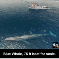 whaling: Blue Whale, 75 ft boat for scale