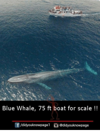 whaling: Blue Whale, 75 ft boat for scale!!  /didyouknowpagel