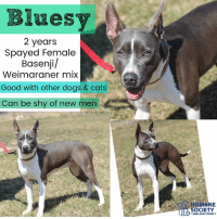 Cats, Dogs, and Memes: Bluesy  2 years  Spayed Female  Basenji/  Weimaraner mix  Good with other dogs & cats  Can be shy of new men  HUMANE  OCIETY  MIDLAND COUNTY All dogs/puppies in our shelter can be viewed here.  Any dog not being held as a stray is available for immediate, same-day adoption! Adoption applications are reviewed on site. Please share our dogs and help get them out of the shelter as quickly as possible!  **PLEASE NOTE**  Placing an application on a dog featured in this album does NOT hold the dog for you.  All available dogs are available to be met and adopted same day if already altered.  If not altered, the dog can be met and paid for in order to hold the dog for you.  Thank you for your understanding!