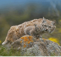 Memes, Bobcat, and 🤖: Bobcat mom and its bobkitten..