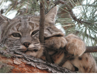 Bobcat, Colorado, and Relaxing: Bobcat relaxing. Pagosa Springs, Colorado