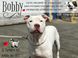 Being Alone, Beautiful, and Butt: Bobly  GORYEOUS, SUpPER FRIEDdly oncx he waRns up, CRatE  trainEd, houstraind, doEsnt mind Sharing, loyES toys.  g0od during baths, wH behayEd whEn homt alonE  65129-4 yEas old. 65 lbs  At BroOklyn ACC  Waiting for LOVE TO BE KILLED - 6/15/2019  BOBBY'S FAMILY IS MOVING and can't take Bobby with them because they are moving to a place where pets (probably dogs) are not allowed. We can fuss all we want about how Bobby's family should have found a place where he's welcome but it didn't happen like that. The most important thing right now is that Bobby was surrendered to a kill shelter and now he is out of time. Bobby is a beautiful four year old dog who looks like he's been well cared for. He's a homeboy whose use to his family and their space and their way of doing things so he's been terrified at the shelter. He doesn't know those people and he took his commands in Spanish so Bobby's head is in a whirl right now. He has lost everything but we are going to try out best to make sure Bobby doesn't lose what's truly precious and thats his life. At just four years of age, Bobby has a lot more life to live and loads of love to give. Please help share Bobby for his second chance.   A staff member writes: This nervous nellie caught my eye when I saw him. His all white coat and cute big head made me fall in love with him. I took Bobby out, and I'll admit he was scared but after a few interactions with him, Bobby showed me that he can wiggle his butt and have a smile on his face. This big boy needs time and respect. Give it to him and he will fall in love with you. Come to Brooklyn Animal Care Centers, and make a new friend!  BOBBY@BROOKLYN ACC Hello, my name is Bobby My animal id is #65129 I am a male white dog at the  Brooklyn Animal Care Center The shelter thinks I am about 4 years old, 65 lbs Came into shelter as owner surrender Jun 6, 2019 Reason Stated: MOVING - NO PETS ALLOWED  Bobby is rescue only   Bobby was placed at risk due to behavioral concerns; Although he has shown some improvement with certain handlers, Bobby remains highly fearful in the care center and is hesitant to interact at times. We feel he would be best set up to succeed if placed with an experienced rescue partner who can allow him to acclimate and decompress at his own pace. Bobby was diagnosed with Otitis externa.  My medical notes are... Weight: 65 lbs Vet Notes 7/06/2019 DVM Intake Exam Estimated age: 4y Microchip noted on Intake? no Microchip Number (If Applicable): History : owner surrender Subjective: BARH, normal appetite, no elimination concerns. Had to be sedated with 0.5ml dex and torb Observed Behavior - hard barking and showing teeth in the kennel. was muzzled and had to be sedated Evidence of Cruelty seen - no Evidence of Trauma seen - no Objective P = wnl R = wnl BCS 5/9  EENT: Eyes clear, ears AU dried ceruminous debris, no nasal or ocular discharge noted Oral Exam: muzzled PLN: No enlargements noted H/L: NSR, NMA, CRT < 2, Lungs clear, eupnic ABD: Non painful, no masses palpated U/G: male intact 2 testicles soft symmetric, no leakage or discharge MSI: Ambulatory x 4, skin free of parasites, no masses noted, healthy hair coat CNS: Mentation appropriate - no signs of neurologic abnormalities Rectal: visually normal  Assessment otitis ext  Prognosis: good  Plan: behavior consult ear cleaning and Claro during surgery  SURGERY: Okay for surgery  Details on my behavior are... Behavior Condition: 5. Red  Behavior History Behavior Assessment Upon intake no handling was done by counselor. Bobby was growling, barking and trying to lunge at the counselor.  Date of Intake: 6/6/2019  Spay/Neuter Status: Not Applicable  Basic Information:: Bobby is approximately 4 years old. He is an unaltered male. He was surrendered to BACC due to the owner moving and is unable to bring the dog with him.  Previously lived with:: 3 adults  How is this dog around strangers?: Owner stated Bobby does not allow any handling by strangers. He will bark, growl and try to lunge.  How is this dog around children?: Has not been around children so it is unknown of the behavior.  How is this dog around other dogs?: Has not been around other dogs so it is unknown of the behavior.  How is this dog around cats?: Has not been around cats so it is unknown of the behavior.  Resource guarding:: Owner stated Bobby does not resource guard his food or toys. He is not bothered if your try to take it away.  Bite history:: None  Housetrained:: Yes  Energy level/descriptors:: High  Has this dog ever had any medical issues?: No  Medical Notes: When any unfamiliar person animal approaches the house he barks, growl and tries to lunge.  For a New Family to Know: Owner stated Bobby is a friendly dog once he gets to know you. When your home he likes to be in the same room as you. He likes to play with balls and squeaky toys. He likes to play fetch. He is mostly indoors. He eats dry food 1 big cup a day. He is house trained. He is not bothered being groomed. He is well behaved when left alone in the house. He has been crate trained. He knows ques sit, come, down in Spanish. He brisk walks on leashes.  ==============  Date of intake:: 6/6/2019  Spay/Neuter status:: No  Means of surrender (length of time in previous home):: Owner surrender  Previously lived with:: 3 Adults  Behavior toward strangers:: Bark, growls, lunges  Behavior toward children:: Unknown  Behavior toward dogs:: Unknown  Behavior toward cats:: Unknown  Resource guarding:: None reported  Bite history:: None reported  Housetrained:: Yes  Energy level/descriptors:: Bobby is described as friendly, once he warms up, with a high level of energy.  Summary:: Leash Walking Strength and pulling: Moderate pulling Reactivity to humans: None Reactivity to dogs: None Leash walking comments:  Sociability Loose in room (15-20 seconds): Tense-neutral body, low tail, ears back, some panting, easily startled by outside noises, distracted by outside noises, approaches handlers, accepts contact, conflicted behavior, wary overall, growled when hearing noises outside Call over: Approaches with coaxing Sociability comments:   Handling  Soft handling: Tense body, lip licking, ears back-neutral, open mouth, panting, distracted by outside noises, low tail, accepts all contact Exuberant handling: Tense body, lip licking, ears back-neutral, open and closed mouth, panting, distracted by outside noises, low tail, accepts all contact Handling comments:  Arousal Jog: Engages in play with handler, jumps up and mouths leash, soft and loose, tail wagging; Recovers with redirection, does not escalate Arousal comments:   Knock Knock Comments: No response to knock; Approaches assistant when enters, but does not solicit attention and moves away  Toy Toy comments: Minimal interest  Summary:: According to Bobby's previous owner, Bobby did not socialized with other dogs while in their care.  6/7: Bobby was uncomfortable with handling. He offered appropriate warnings- stiff body, whales eyes and yelps- so all attempts to collar him was stopped. He greeted the novel female dog, at the gate, with a neutral soft posture.  Date of intake:: 6/6/2019  Summary:: Growled, barked, lunged toward staff; No handling performed  Date of initial:: 6/7/2019  Summary:: Hard barked, bared teeth; Sedated for exam  ENERGY LEVEL:: Bobby was observed to exhibit a medium level of energy during his interactions in the care center.  BEHAVIOR DETERMINATION:: New Hope Only  Behavior Asilomar: TM - Treatable-Manageable  Recommendations:: No children (under 13),Place with a New Hope partner  Recommendations comments:: No children (under 13): Due to Bobby's overall level of fear, we feel he would be best set up to succeed in an adult only home at this time.   Place with a New Hope partner: Although he has shown some improvement with certain handlers, Bobby remains highly fearful in the care center and is hesitant to interact at times. We feel he would be best set up to succeed if placed with an experienced rescue partner who can allow him to acclimate and decompress at his own pace. Force-free, reward based training only is advised when introducing or exposing Bobby to new and unfamiliar situations.   Potential challenges: : Fearful/potential for defensive aggression,Kennel presence  Potential challenges comments:: Fearful/potential for defensive aggression: Bobby exhibits overall fearful behavior and is wary of interacting with most handlers. He has been observed to escalate to growling, barking and lunging toward staff members during his intake exam. Bobby has also been observed to lunge toward his kennel door, growl, bare teeth and hard bark when a staff member approaches his kennel. Please refer to the handout for Fearful/potential for defensive aggression.   Kennel presence: Bobby has been observed to lunge toward his kennel door, growl, bare teeth and hard bark when a staff member approaches his kennel. Please refer to the handout for Kennel presence.  BOBBY IS RESCUE ONLY…..TO SAVE THIS PUP YOU MUST FILL OUT APPLICATIONS WITH AT LEAST 3 NEW HOPE RESCUES. PLEASE HURRY!!!   IF YOU CAN FOSTER OR ADOPT THIS PUP, PLEASE PM OUR PAGE FOR ASSISTANCE. WE CAN PROVIDE YOU WITH LINKS TO APPLICATIONS WITH NEW HOPE RESCUES WHO ARE CURRENTLY PULLING FROM THE NYC ACC.  PLEASE SHARE THIS DOG FOR A HOME TO SAVE HIS LIFE.