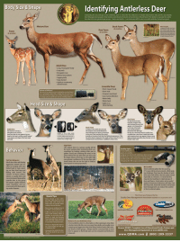 Body Size & Shape  A  Identifying Antlerless Deer  Estimating the sex and age of live antlerless deer is critical for the collection of reliable observation data and for any Quality  Deer Management program that involves selective doe harvest and protection of buck fawns. The ability to separate live antler  less deer into two general age groups-fawns and adults- is a necessary skill for any successful antlerless harvest program.  Buck Fa  (6 months)  Doe Fawn  5agging belly  Juvenile Deer  Head Size & Shape  juvenile or immature look Note the flattened appearance of the  top of the head compared to the adult and fawn does. Be sure to  The mature does in a group usually will be  Behavior  roundings by looking, rotating their ears to  gather sound, and checking the wind. In the  judging live deer, both antlerless deer and ant-  heads down, the one on the right is clearly a  ing challenge. They have the bodies of adult  a button buck, like this one.Less wary than adults,and usually more  outgoing and aggressive than doe fawns, button bucks often wan-  der ahead of their groups. Always wait for a second, third or more  deer to appear so that body sizes can be compared and behaviors  Deer Management Equipment at www.QDMA.com.  www.QDMA.com (800) 209-3337
