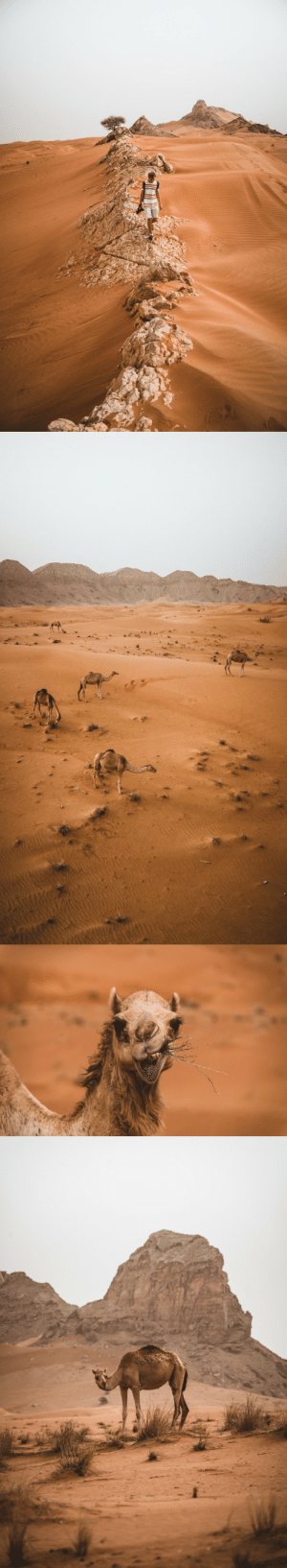 Tumblr, Blog, and Http: bokehm0n:  Camels in the desert.
