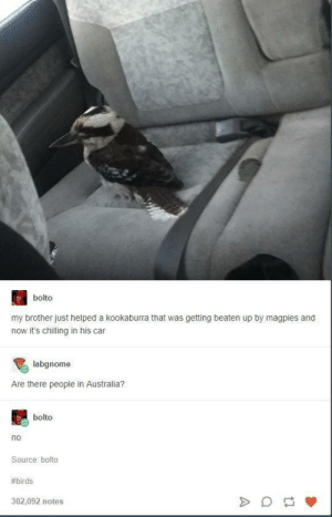 Australia, Birds, and Australian: bolto  my brother just helped a kookaburra that was getting beaten up by magpies and  now it's chilling in his car  labgnome  Are there people in Australia?  bolto  no  Source: bolto  #birds  302,092 notes australian fauna