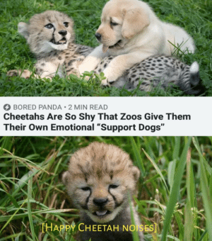 "Bored, Cute, and Dogs: BORED PANDA 2 MIN READ  Cheetahs Are So Shy That Zoos Give Them  Their Own Emotional ""Support Dogs""  THAPPY CHEETAH NOISES] Cheetahs are cute"