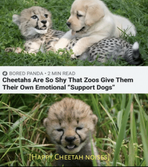 "Bored, Dogs, and Memes: BORED PANDA 2 MIN READ  Cheetahs Are So Shy That Zoos Give Them  Their Own Emotional ""Support Dogs""  THAPPY CHEETAH NOISES] https://t.co/wVrzrxzE0l"