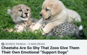 "Bored, Dogs, and Panda: BORED PANDA 2 MIN READ  Cheetahs Are So Shy That Zoos Give Them  Their Own Emotional ""Support Dogs"" Never knew Shy cheetahs was a thing"