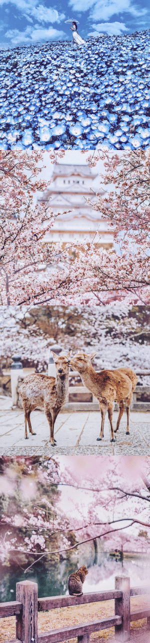 Tumblr, Blog, and Http: boredpanda:    I Bought Tickets To Japan During The Cherry Blossom, But Ended Up In A Pink Fairy Tale Instead