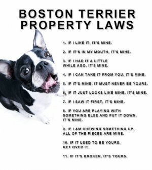 Memes, Saw, and Boston: BOSTON TERRIER  PROPERTY LAWS  1. IF I LIKE IT, IT'S MINE  2. IF IT'S IN MY MOUTH, IT'S MINE  3. IF I HAD IT A LITTLE  WHILE AGO, IT'S MINE  4. IF I CAN TAKE IT FROM YOu, IT'S MINE  5. IF IT'S MINE, IT MUST NEVER BE YOURS  6. IF IT JUST LOOKS LIKE MINE, IT'S MINE  7. IF I SAW IT FIRST, IT'S MINE  8. IF YOU ARE PLAYING WITH  SOMETHING ELSE AND PUT IT DOWN,  IT'S MINE  9. IF I AM CHEWING SOMETHING UP,  ALL OF THE PIECES ARE MINE  10. IF IT USED TO BE YOURS,  GET OVER IT  11. IF IT'S BROKEN, IT'S YOURS. Can you relate?