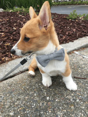 Bow ties are an essential accessory to every corgi: Bow ties are an essential accessory to every corgi