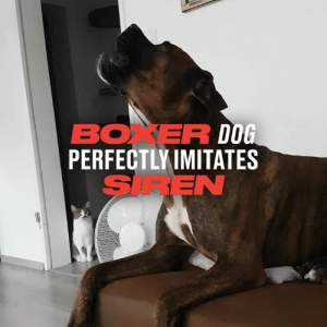 This dog's siren impression is absolutely spot on... 😂🐶: BOXER DOG  PERFECTLY IMITATES  SIREN This dog's siren impression is absolutely spot on... 😂🐶